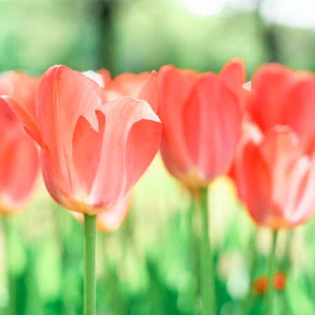 Beautiful background of tulips growing Reklamní fotografie