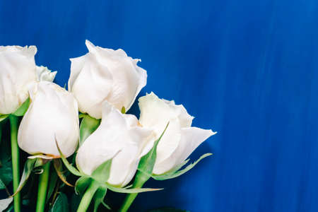 white roses flat lay on a classic blue background. Top view Reklamní fotografie