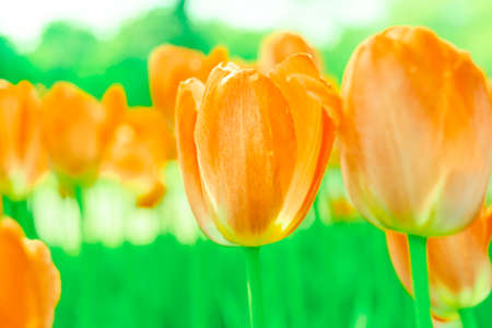 spring tulip blooms in the garden, romantic and dreamy mood, lush lava and aqua menthe colors