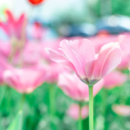 spring tulip blooms in the garden, romantic and dreamy mood, lilac and aqua menthe colors