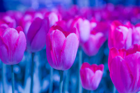 spring tulip blooms in the garden, romantic and dreamy mood