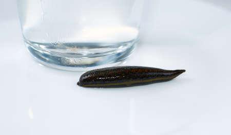 medical leech isolated on white background close up
