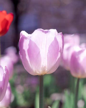 background of tulips growing in the garden 版權商用圖片