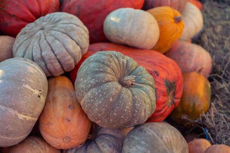 pumpkins pattern, autumn background, harvest concept, top view