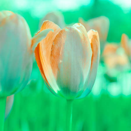 Beautiful background of tulips growing in the garden