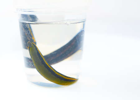 Hirudotherapy. medical leeches in a glass in water Standard-Bild