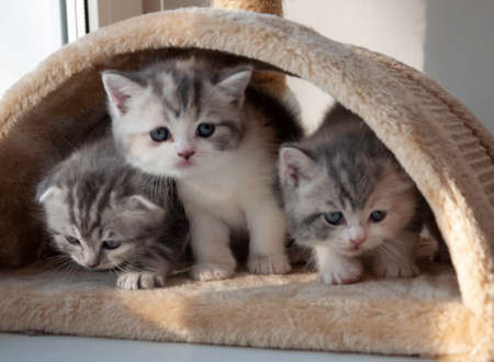 various british kittens sitting on beige plaid Stock fotó