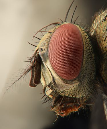'compound eye': Fly extreme side closeup of head with compound eye