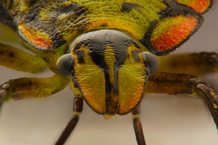 green shield bug: Extreme closeup of colored Stink Bug