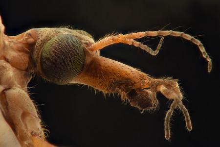 tipulidae: Crane Fly extreme closeup Stock Photo