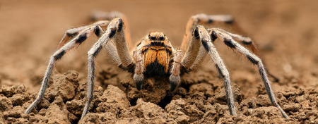 wolf spider: Extreme magnification  - Wolf Spider, full body shot, high resolution