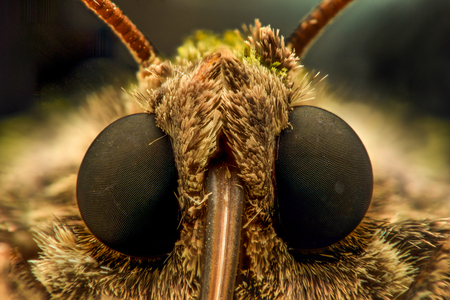 orthosia: Extreme magnification - Moth head - front view