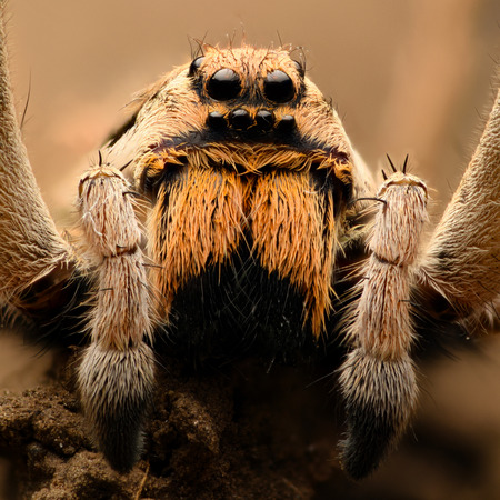 magnification: Extreme magnification - Wolf Spider