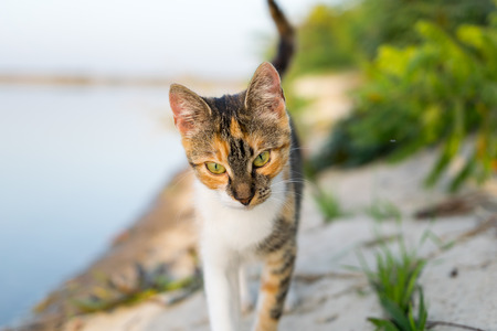 confiding: Cat walking towards you near the lake