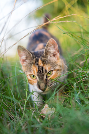 hunting: Cat hunting through grass Stock Photo