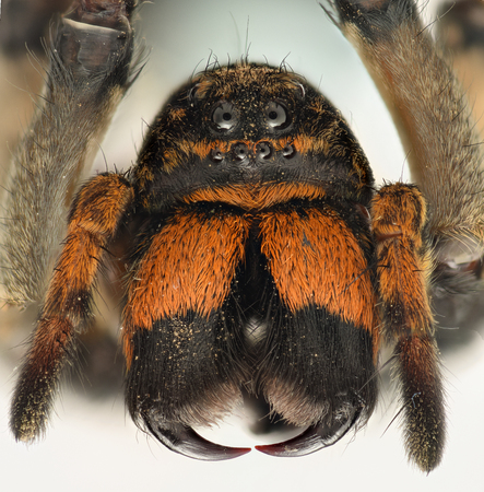 Extreme magnification - Wolf Spider front view