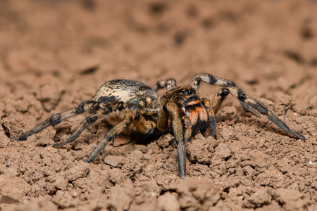 arachnida: Wolf Spider in nature - side view
