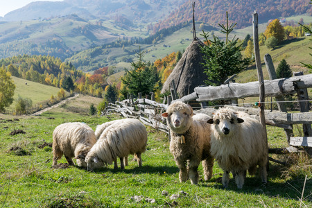 Sheeps grazing in a traditional Romanian mountain landscape