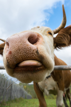 closeup cow face: Wide angle shot of a funny cows head Stock Photo
