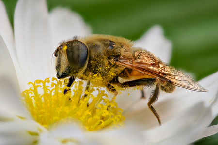 reproduction animal: Bee pollinating, extreme close up