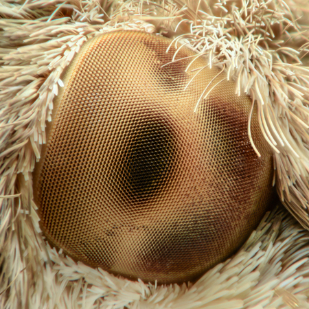 magnification: Hummingbird hawk-moth eye, extreme magnification