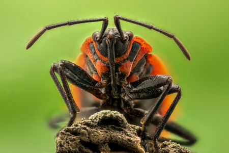 magnification: Extreme magnification - Lygaeus equestris on a branch