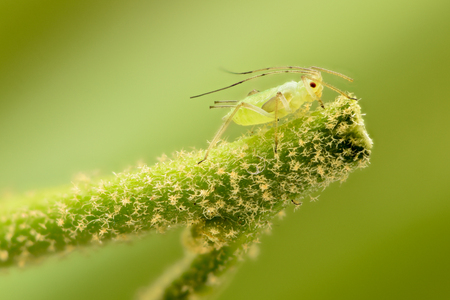 Extreme magnification - Green aphids on a plant Banque d'images