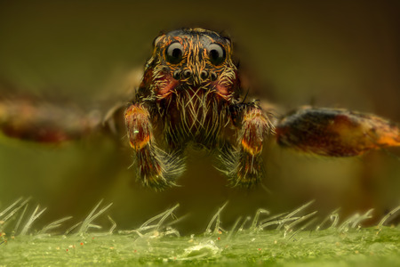 magnification: Extreme magnification - Brown spider, front view