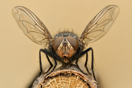 Extreme vergroting - Fly lancering Stockfoto