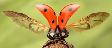 lady bug: Extreme magnification - Lady bug with spread wings