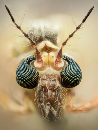 'compound eye': Extreme magnification - Mosquito head, thin antennas
