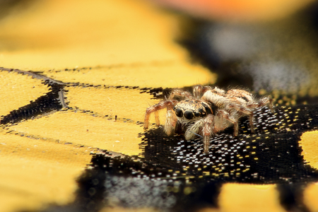 magnification: Extreme magnification - Jumping Spider on a butterfly wing Stock Photo