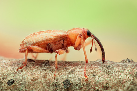 weevil: Extreme magnification - Orange Weevil on a stick, side view