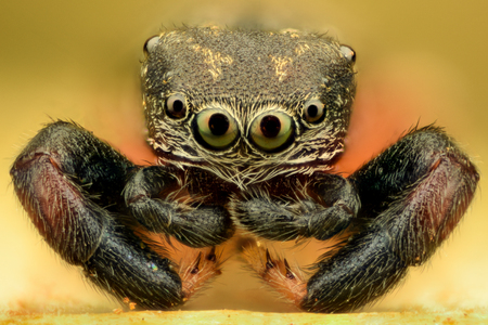 jumping spider: Extreme magnification - Jumping Spider Stock Photo
