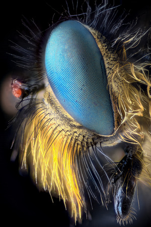 magnification: Extreme magnification - Robber fly, side view