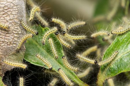 Pest caterpillars on silk, Hyponomeuta malinella Stock Photo