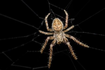 arachnidae: Cross Spider (Araneus diadematus)
