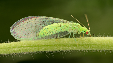 chrysopidae: Extreme magnification - Lacewing, Pest control.