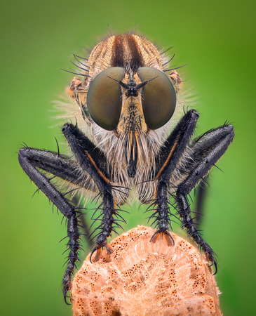 asilidae: Extreme magnification - Robber fly, front view