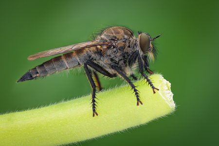 asilidae: Extreme magnification - Robber fly, side view