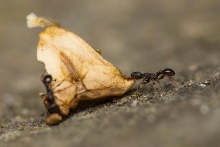 hormiga hoja: Hormiga cargando una hoja muerta Foto de archivo