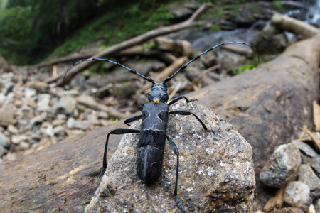 Great capricorn beetle - Cerambyx cerdo