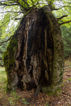 Hollow tree trunk in a forest
