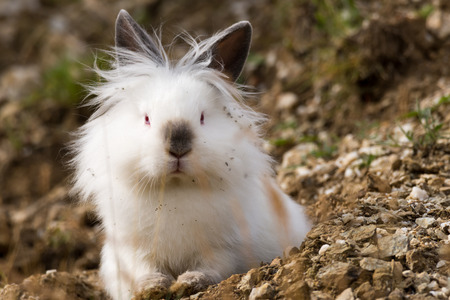 White angora rabbit sitting outdoors in the wild, front view