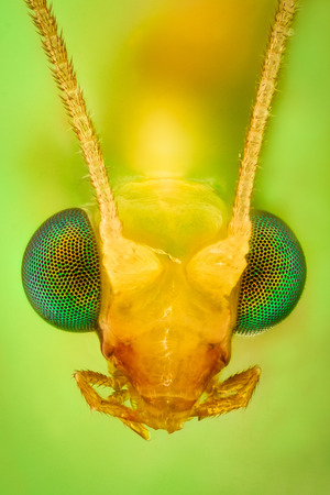 chrysoperla: Extreme magnification - Lacewing head Stock Photo