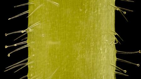glandular: Extreme magnification - Pelargonium, Glandular hairs and tector  at 20x Stock Photo