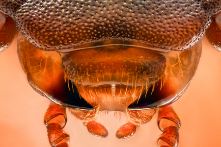 mealworm: Extreme magnification - Mealworm beetle jaws, Tenebrio molitor