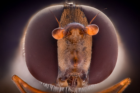 Extreme magnification, Hoverfly, front view
