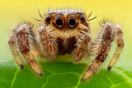 Extreme magnification - Jumping spider on a leaf Stock Photo