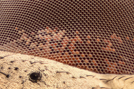 compound eyes: Extreme magnification - Fly eye at 20x